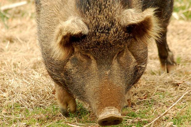 heritage-breed-pig